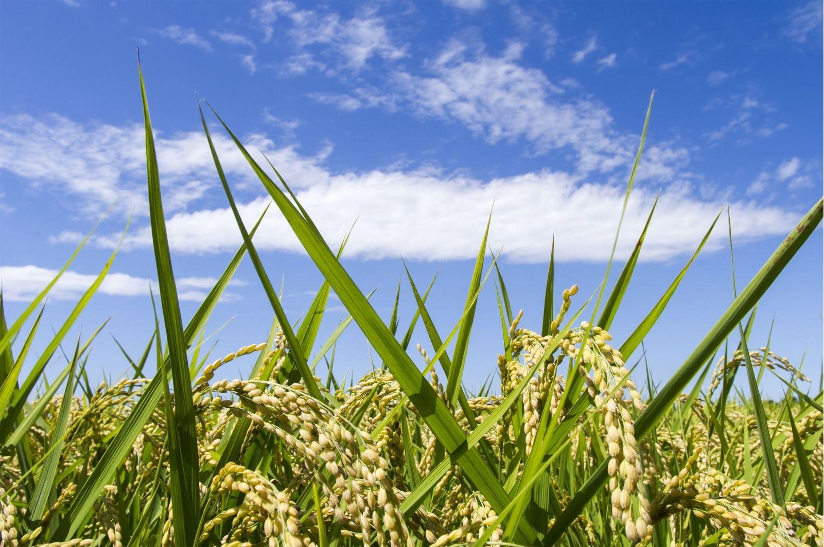 青空の下よく育った稲
